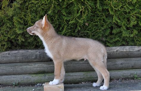 coy dogs coydog domestic coyote hybrid info behavior sounds pictures