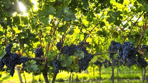 Small Plants For Office Desk by Wine Grape Preharvest Monitoring Program Back For Fourth
