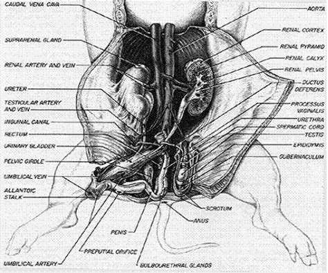 fetal pig excretory system diagram the reproductive systems of a and rat