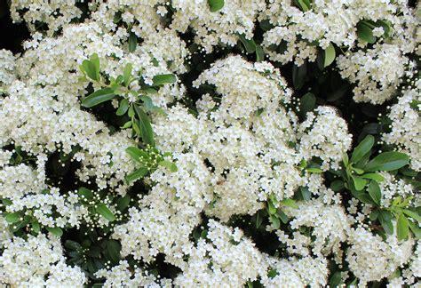fiori da siepe una siepe di piracanta in fiore delizie in giardino