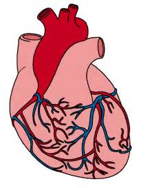 Picture Clips human heart clip art clipart panda free clipart images