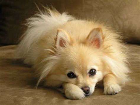 pomeranian dogs names pomeranian pictures names price and pet wallpaper
