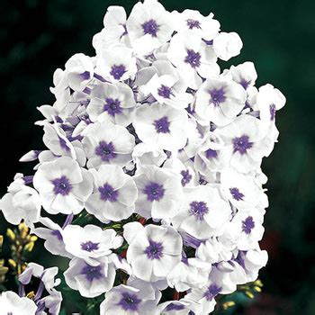 blue ice tall phlox summer perennials michigan bulb