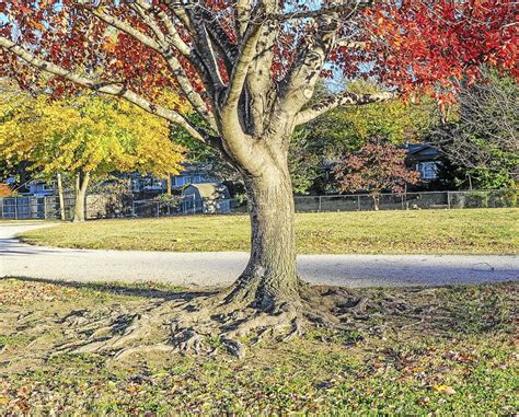 maple tree roots surface master gardener don t cut back if your tree s roots are showing tulsa world garden advice