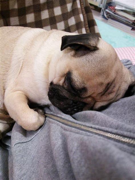 cuddle pugs the world s catalog of ideas