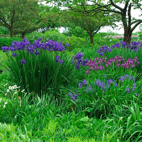 siberian iris finegardening
