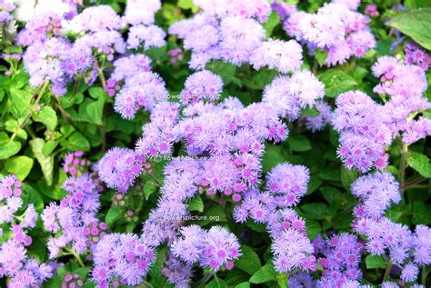 garden flowers a z list of flowers with pictures a z www pixshark