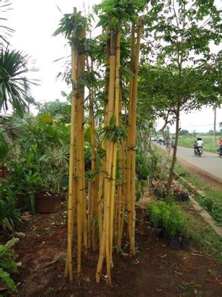 bambu panda bali jual tanaman hias jual desain