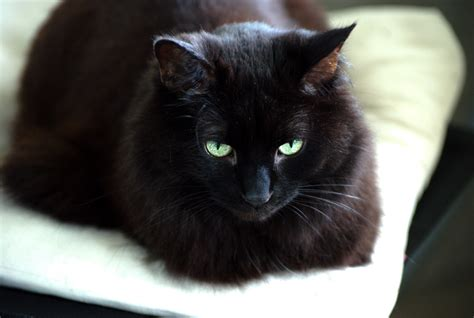 imagenes en negro de gatos hermosos gatos negros darks g 243 ticos y demon 237 acos taringa