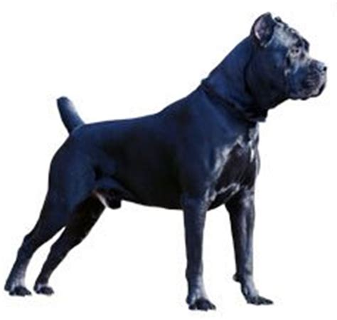 rottweiler vs corso compare corso italiano vs rottweiler difference between corso italiano and