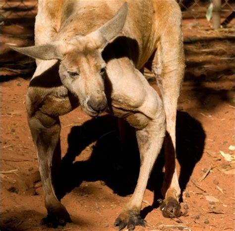doodlebug orphaned kangaroo テディベアをギュッと抱きしめて離さないカンガルーの孤児の画像 dna
