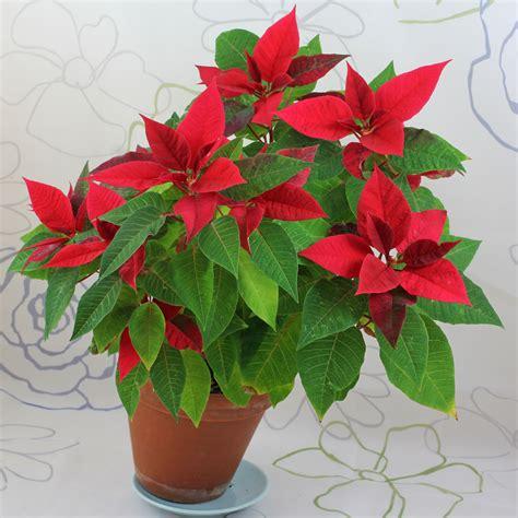 Weihnachtsstern Pflegen weihnachtssterne euphorbia pulcherrima pflege und vermehren