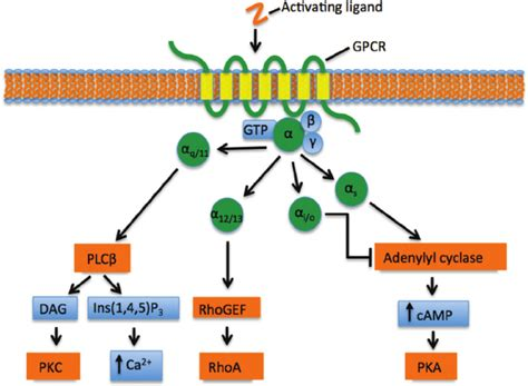 Canonical G ␣ -mediated signalling at G-protein-coupled ... G Protein Coupled Receptors Diagram