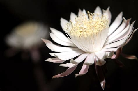 flowers that bloom at night photo gallery night blooming cereus at tohono chul park