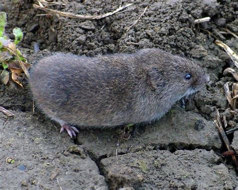 meadow vole microtus pennsylvanicus photo tom murray