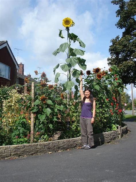 tallest sunflower ever recorded related keywords tallest sunflower ever recorded long tail