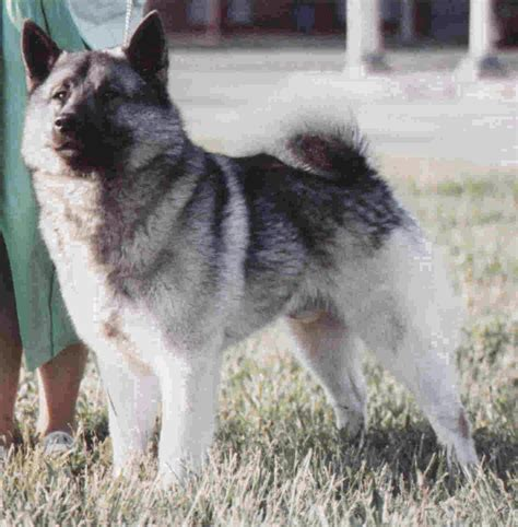 elkhound puppy elkhound breeds galleries breeds picture