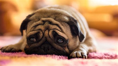 sad puppy faces pug expression sad up hd quality desktop background wallpaper