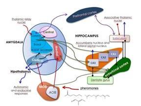 anatomical representation of emotional memory circuit connections between amygdala and