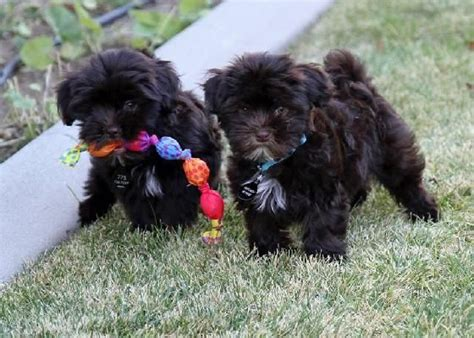 puppies for sale in santa 25 best havanese images on