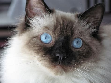 ragdoll information color is brown cat gray white variations blue