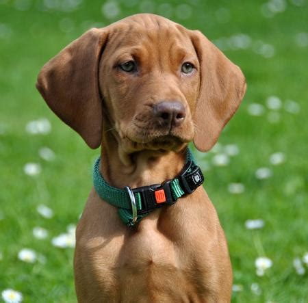 how much are vizsla puppies beans the vizsla puppies daily puppy