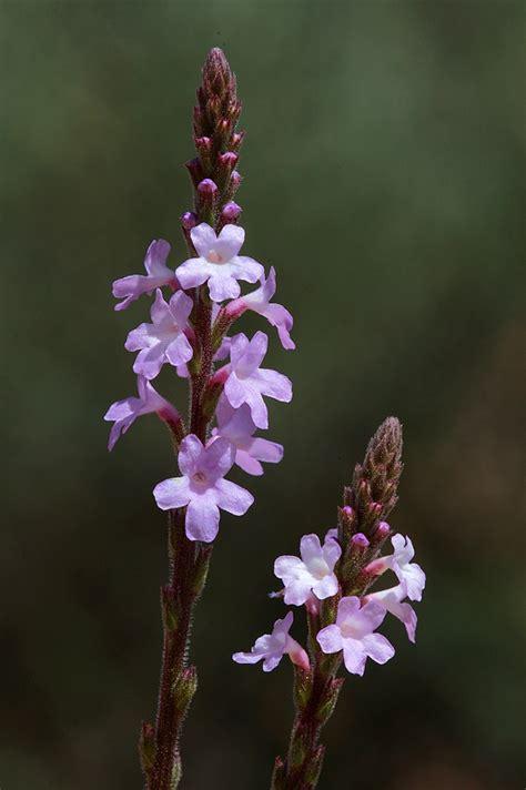 fiori di bach vervain floriterapia fiori di bach vervain verbena