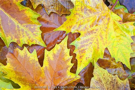 Plane With Smiths Leaves Florida by Minden Pictures Stock Photos Plane Platanus X
