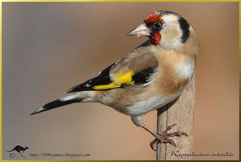 smile for the european goldfinch focusing on wildlife