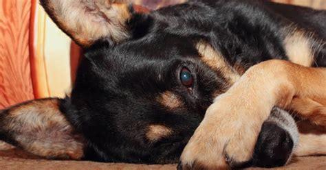 blepharitis in dogs blepharitis in pets