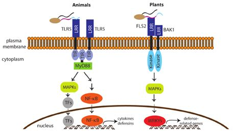 zymosan pattern recognition receptors flagellin recognition and signalling is suggestive of