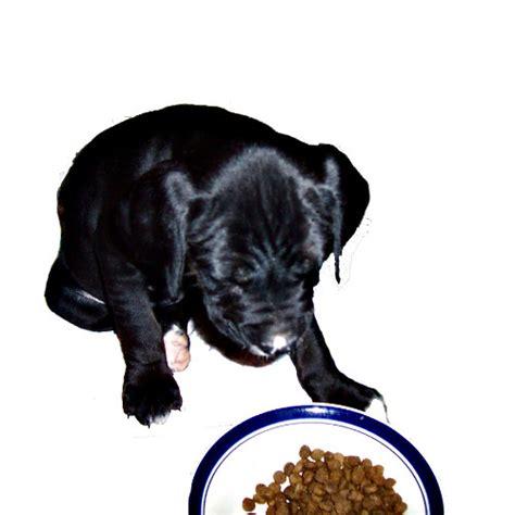 best puppy kibble kibble diets vs food should you feed your pets kibble alone petslady