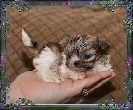 teacup shih tzu grown size pin tiny imperial shih tzu and teacup shihtzu puppies for sale on