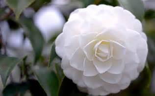 camellia white flower 10 high resolution wallpaper