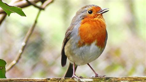 robin birds chirping and singing beautiful bird sounds