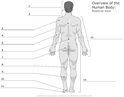 Anatomy And Physiology Regions Worksheet by Unlabeled Diagrams Of The Human A P