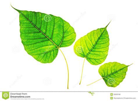 Bodhi Leaf isolated bodhi leaf royalty free stock photos image 30033168