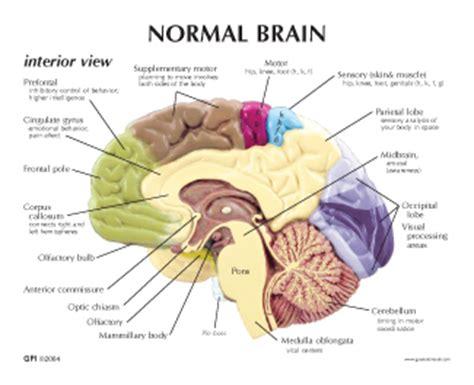 3d brain diagram normal inferior view anatomy brain model preforal corpuss