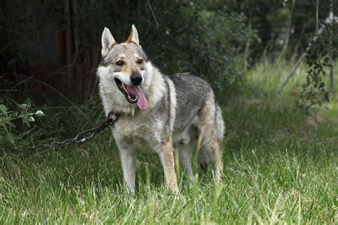 dogs as pets a guide to wolf dogs as pets