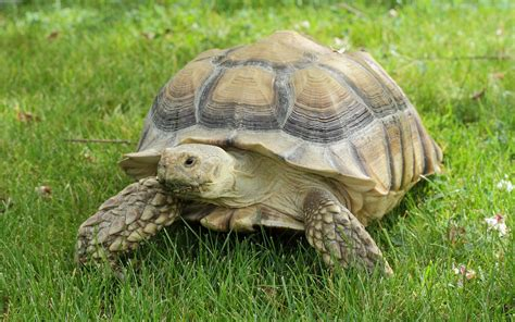 Tortoise L by Sulcata Tortoise By Stompy05 On Deviantart