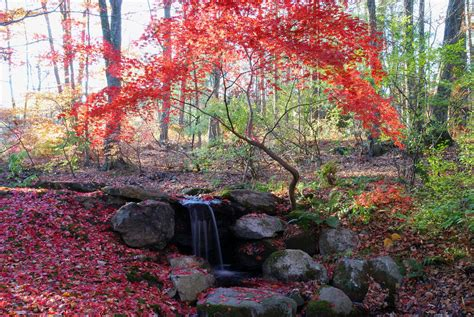1000 images about japanese maple trees on
