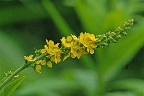 fiori di bach x ansia fiori di bach per ansia come combatterla in modo naturale
