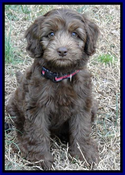 labradoodle puppies for sale in ga 25 b 228 sta chocolate labradoodle puppies id 233 erna p 229 labradoodle