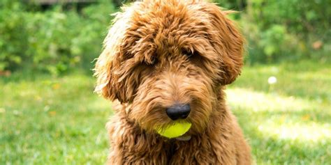 goldendoodle puppy ma massachusetts labradoodle goldendoodle puppies for sale