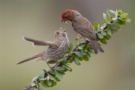 pictures of house finches house finches and house sparrows cubs