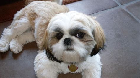 how many years does a shih tzu live what is the average span of a shih tzu reference