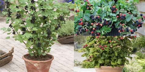 berries  grow  containers balcony