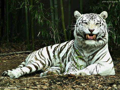 White Tiger L by Save Our Tigers Just 1411 Left White Tigers 1