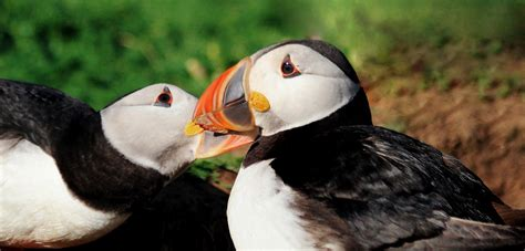 puffins that migrate together make more chicks