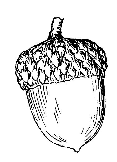 Acorn Drawing Outline by Pix For Gt Acorn Outline Clip Outlines Clip And